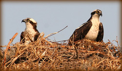 A pair of Ospreys perched on their large nest
