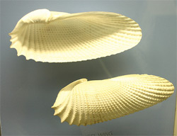 an angel wing shell
