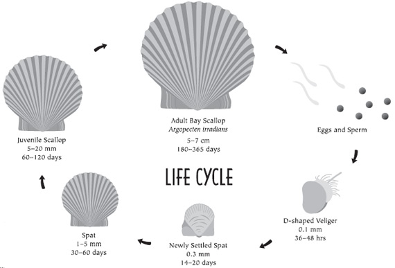 life history diagram of the life cycle of a bay scallop